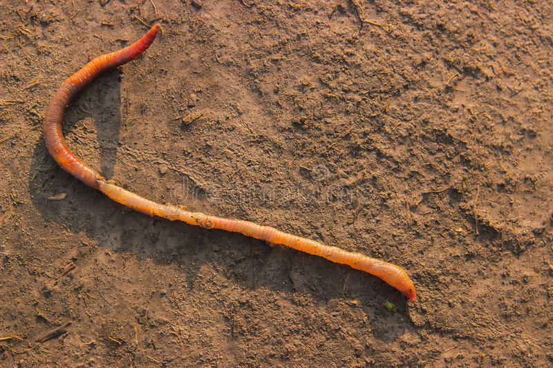 Earthworm lying on soil. Worms living under the ground stock images