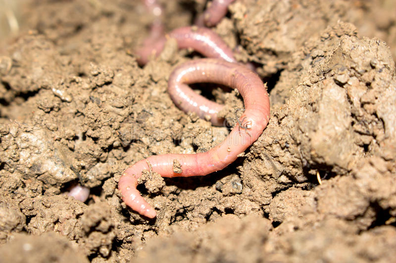 Earthworm. Nature earthworm that favor to use for fishing stock photos