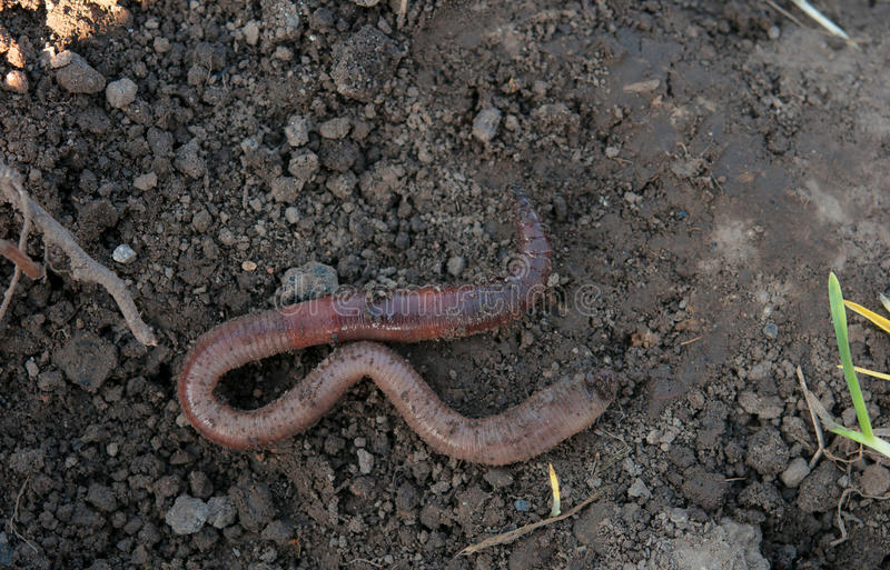 Earthworm. A earthworm in soil - close up shot royalty free stock image