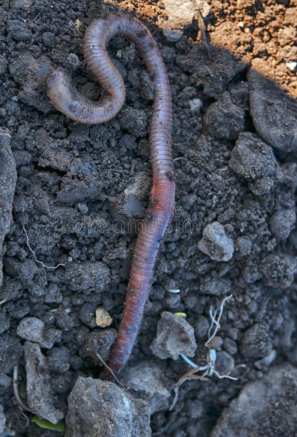 Earthworm. A earthworm in soil - close up shot stock photography