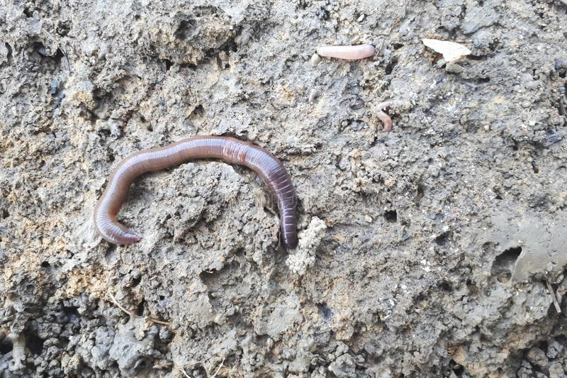 Earthworm in soil. Closeup shot royalty free stock photo