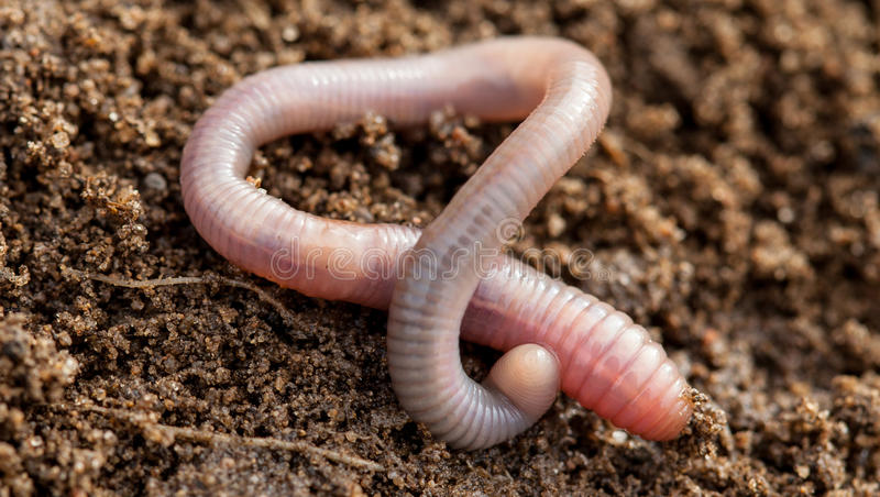 Earthworm in soil royalty free stock photography