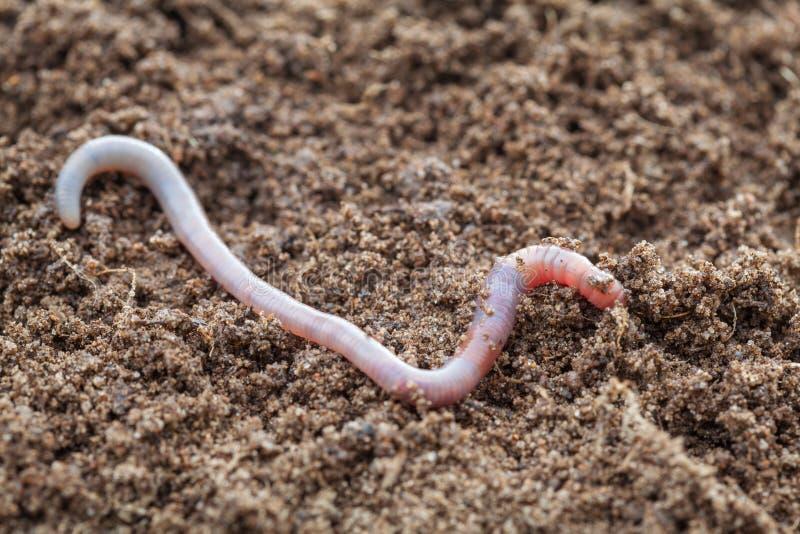 Earthworm in soil - closeup shot royalty free stock photos