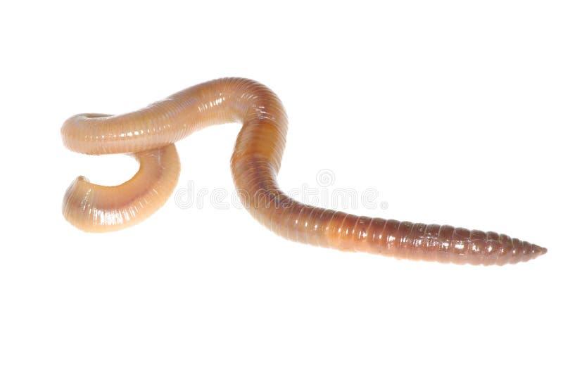 Earthworm on white royalty free stock photo