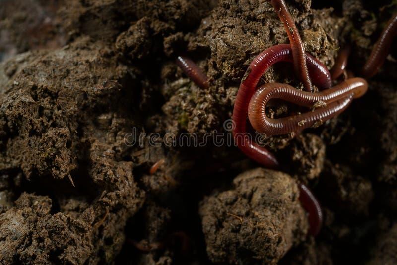 Earthworms в почве с сухими листьями стоковое фото rf