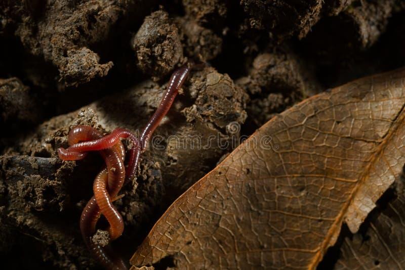 Earthworms в почве с сухими листьями стоковое изображение rf
