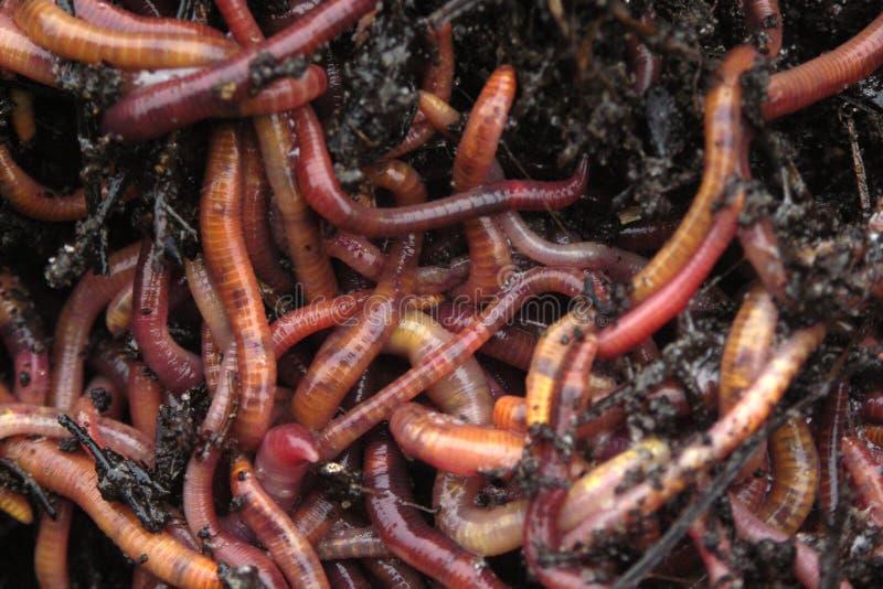 earthworms компоста стоковые изображения