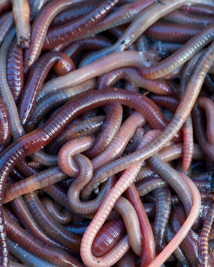Earthworms immagine stock