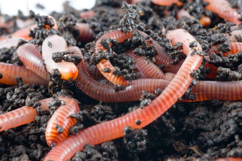 Earthworms fotografia stock libera da diritti