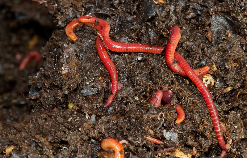 Earthworms crawling in compost. A close-up of several reddish earthworms living in a compost heap stock images