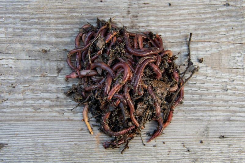 Earthworms, dużo, kraul na desce obraz royalty free