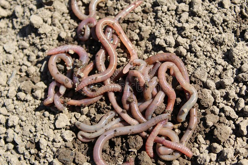 earthworms lie in a heap on the ground royalty free stock image