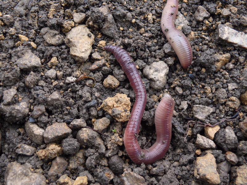 Earthworms. Nature picture life from earth royalty free stock images