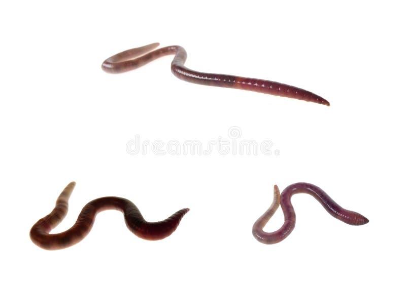 earthworms odizolowywali biel trzy zdjęcia stock