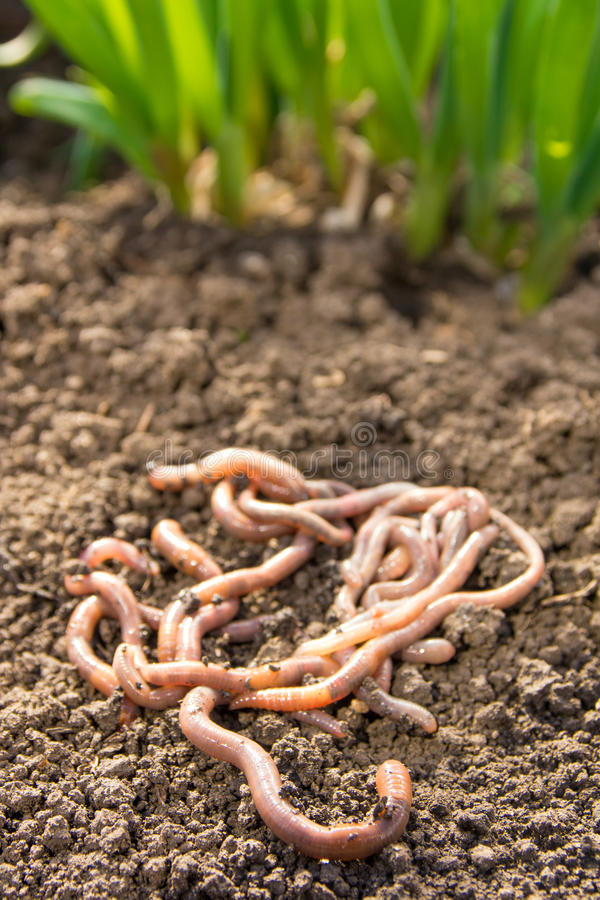 Earthworms on patch. Earthworms group on earth patch close up. Agriculture or fishing concept stock photography
