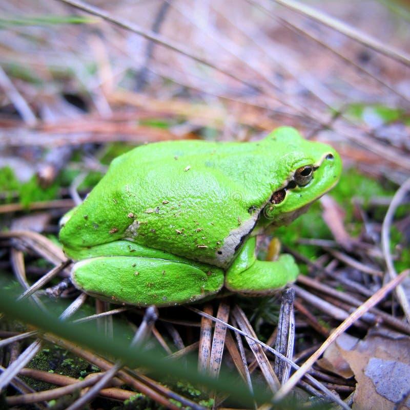 earthy зеленая лягушка стоковое изображение