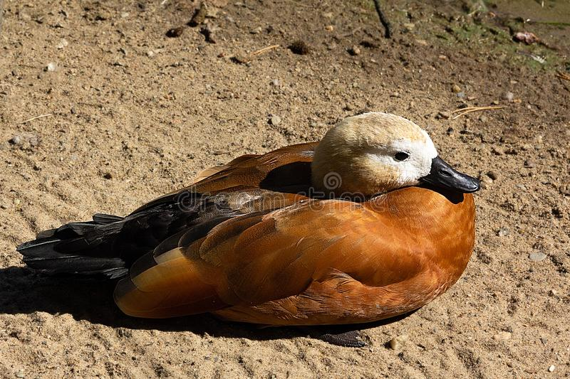 An earth duck is standing on the sand stock images