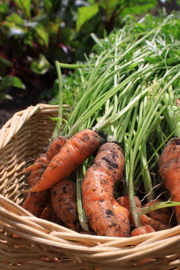 Earthy Carrots stock image