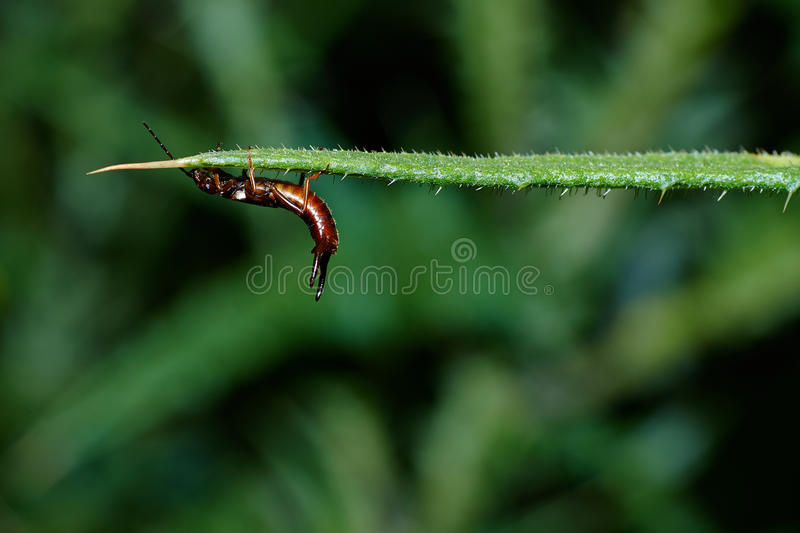 An Earwig Clinging On To A Thistle. Earwigs make up the insect order Dermaptera and are found throughout the Americas, Africa, Eurasia, Australia and New Zealand stock photos