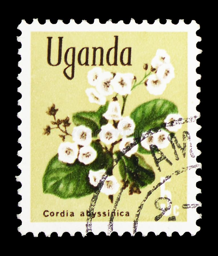 East African cordia (Cordia abyssinica), Native flora serie, circa 1969 stock photography
