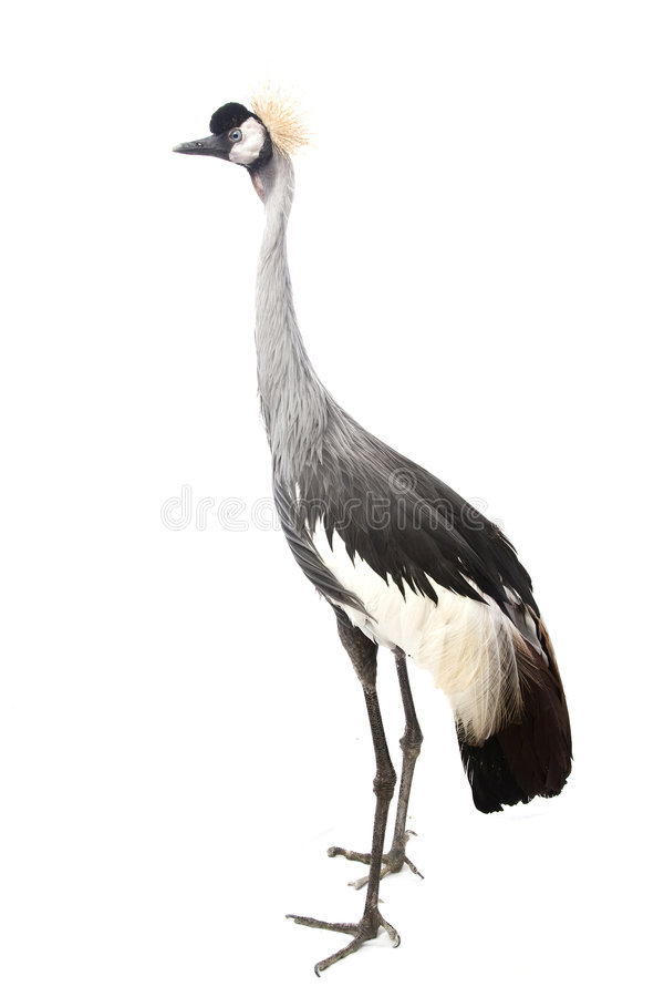 Free East African Crowned Crane Stock Photos - 7226973