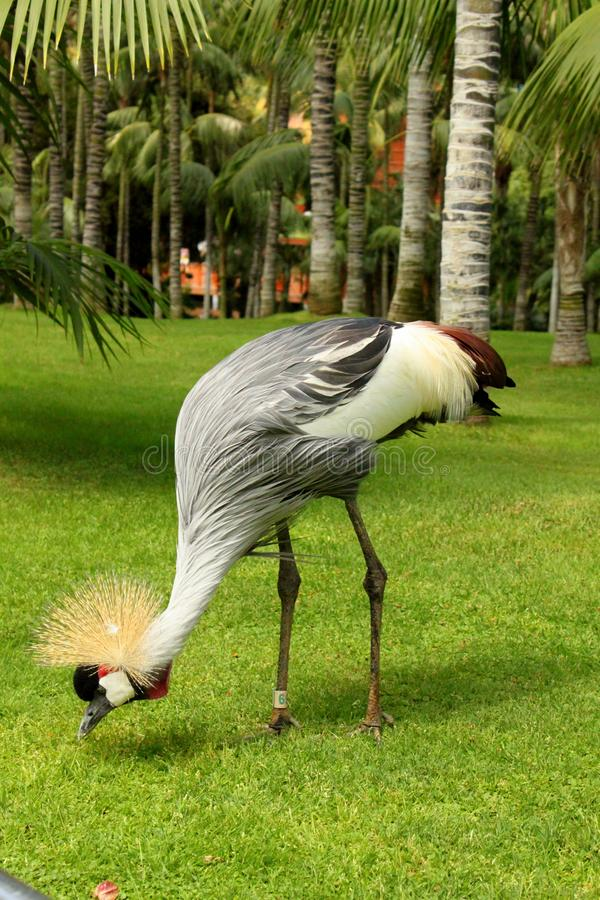 East African Crowned Crane. Standing Grey Crowned Crane on a green grass in Loro Parque, Tenerife stock photos