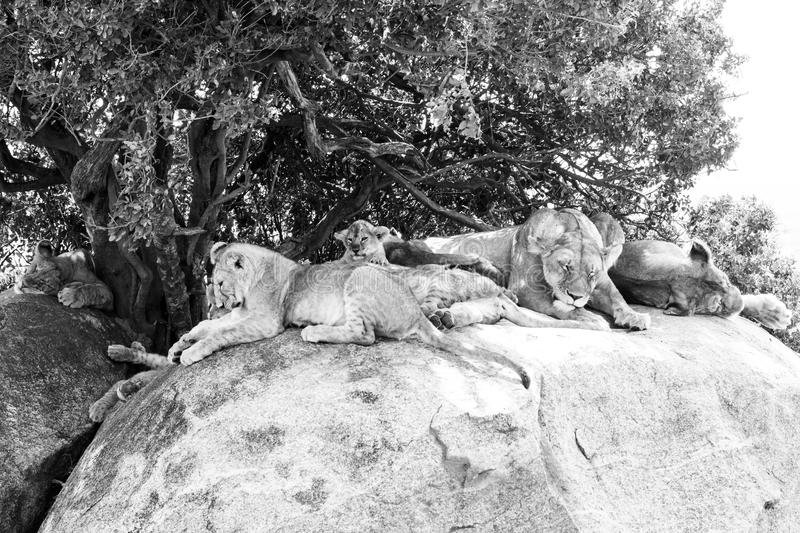 East African lion cubs and lioness in black and white. East African lion cubs and lioness Panthera leo melanochaita, species in the family Felidae and a member royalty free stock photos