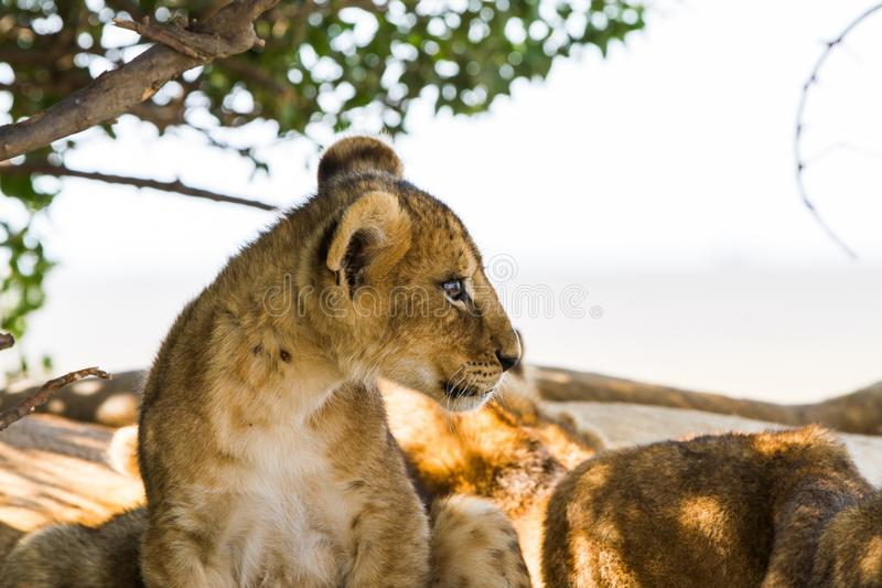 East African lion cub portrait stock images