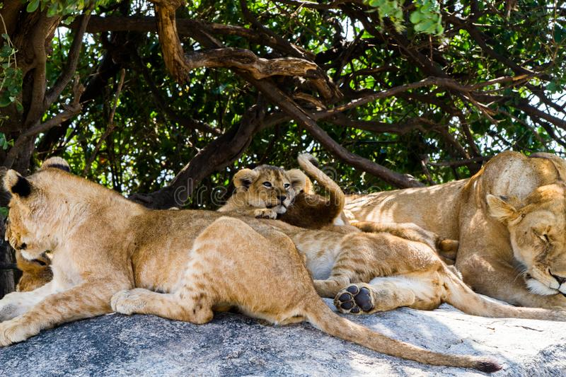 East African lion cubs and lioness in the shade. East African lion cubs and lioness Panthera leo melanochaita, species in the family Felidae and a member of the royalty free stock images