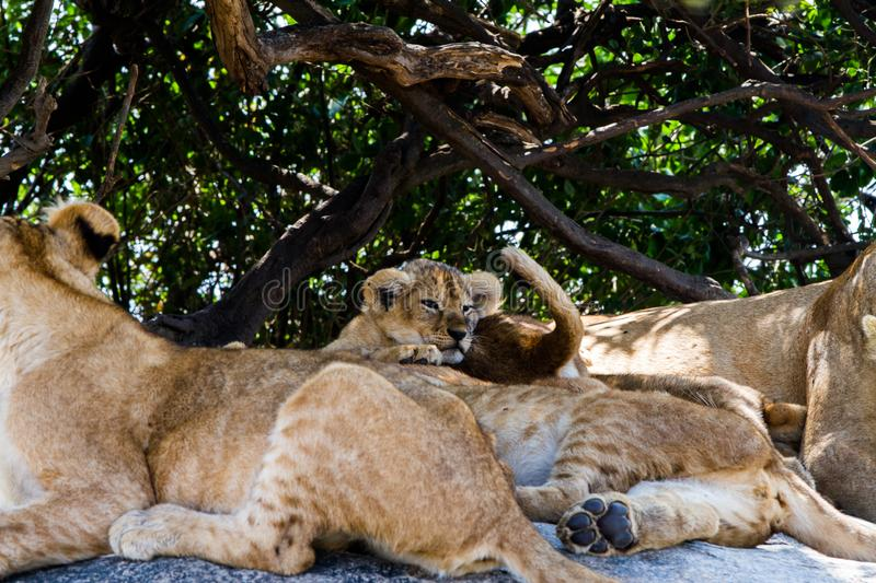 East African lion cubs and lioness in the shade. East African lion cubs and lioness Panthera leo melanochaita, species in the family Felidae and a member of the stock photo