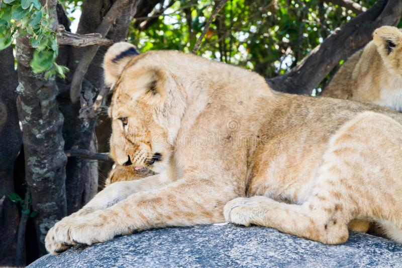 East African lion cubs and lioness in the shade. East African lion cubs and lioness Panthera leo melanochaita, species in the family Felidae and a member of the royalty free stock photo