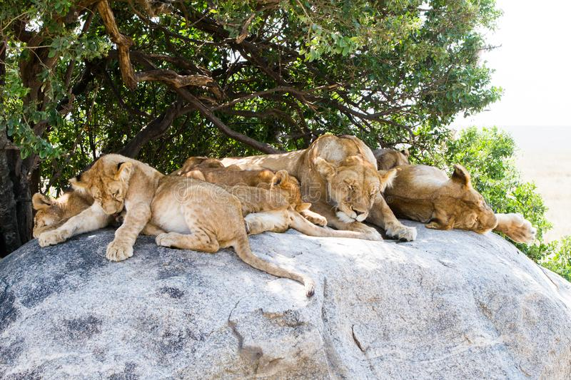 East African lion cubs and lioness in the shade. East African lion cubs and lioness Panthera leo melanochaita, species in the family Felidae and a member of the royalty free stock image