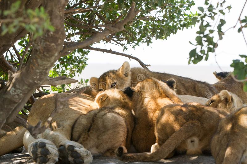 East African lion cubs and lioness in the shade. East African lion cubs and lioness Panthera leo melanochaita, species in the family Felidae and a member of the royalty free stock photos