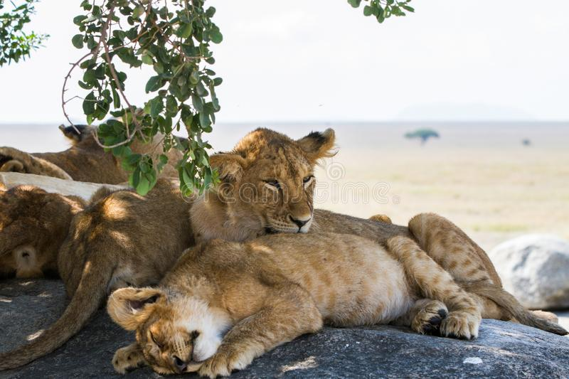 East African lion cubs and lioness in the shade. East African lion cubs and lioness Panthera leo melanochaita, species in the family Felidae and a member of the stock photos