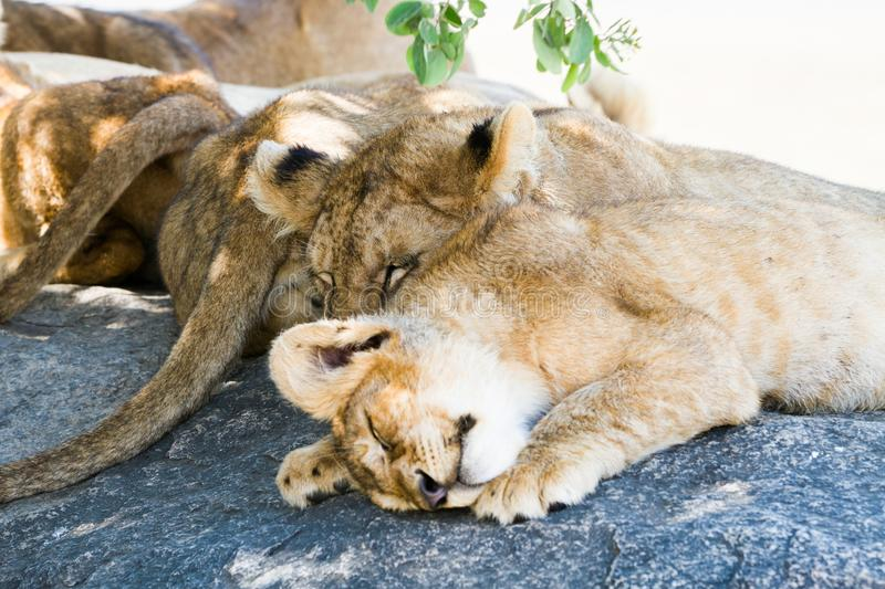 East African lion cubs and lioness in the shade. East African lion cubs and lioness Panthera leo melanochaita, species in the family Felidae and a member of the royalty free stock photography
