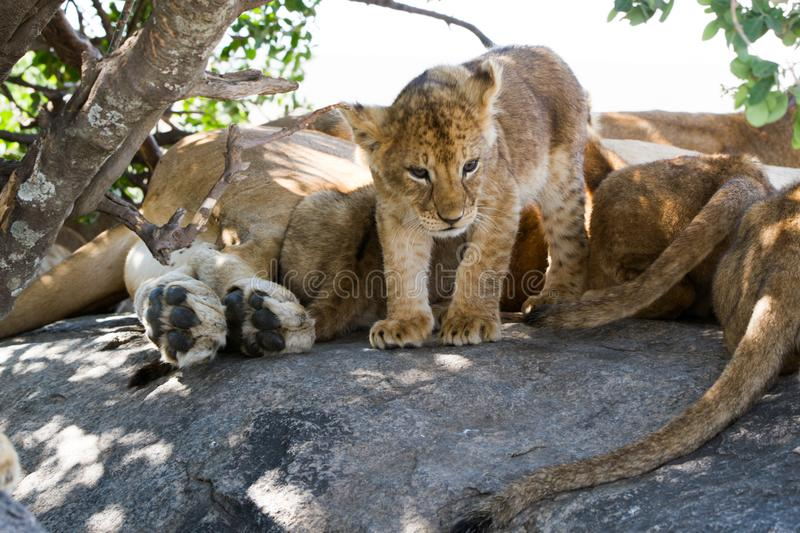 East African lion cubs and lioness in the shade. East African lion cubs and lioness Panthera leo melanochaita, species in the family Felidae and a member of the stock images
