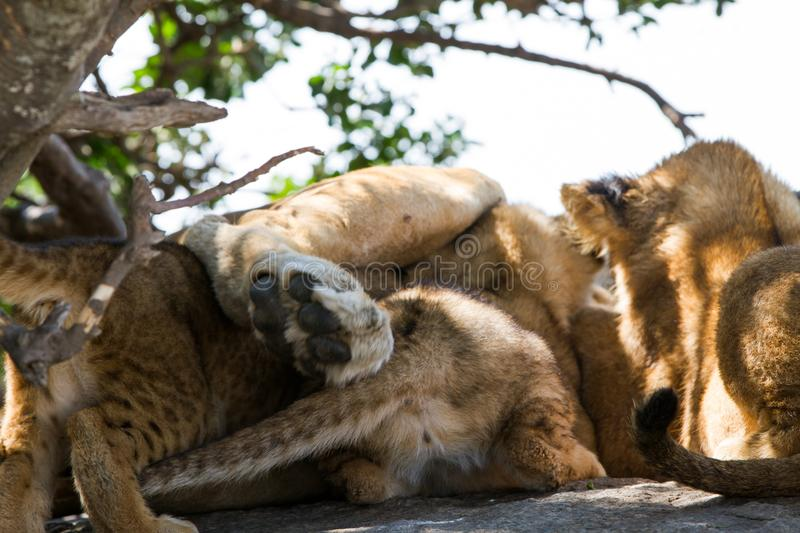East African lioness breast feeding cubs royalty free stock images