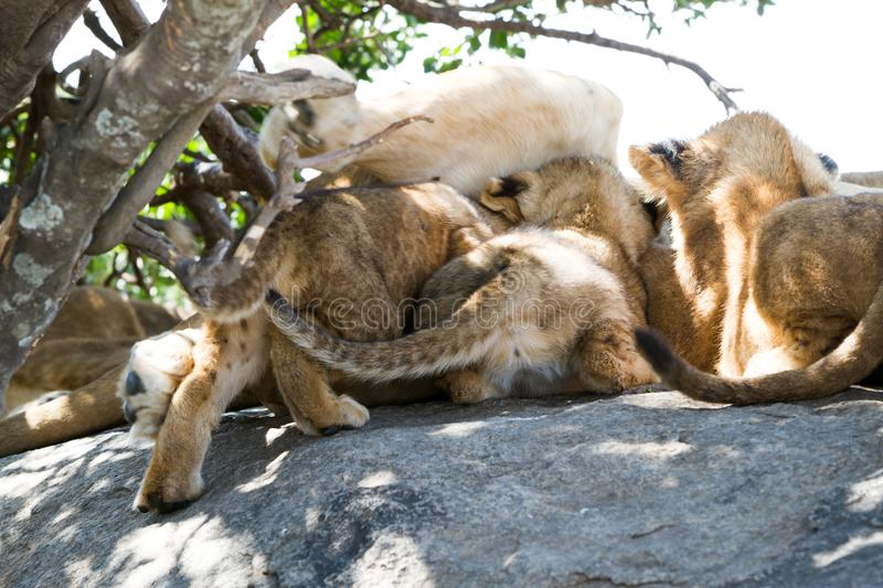 East African lioness breast feeding cubs stock photo