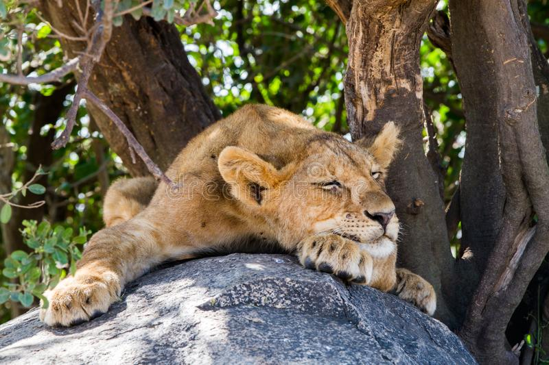 East African lion cubs Panthera leo melanochaita. Species in the family Felidae and a member of the genus Panthera, listed as vulnerable, in Serengeti National stock image