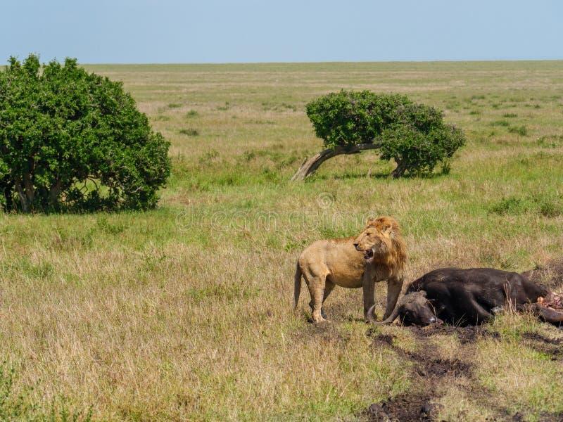 East african lion protecting his cape buffalo prey stock photos