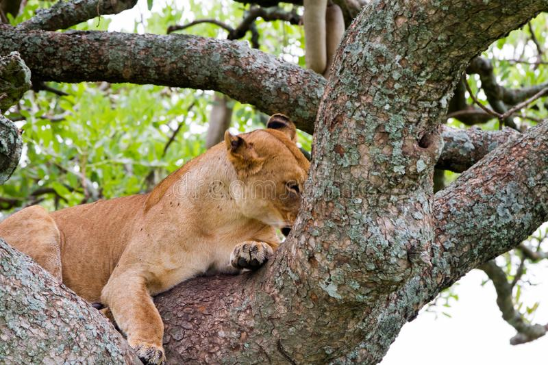 East African lioness Panthera leo melanochaita in a tree. East African lioness Panthera leo melanochaita, species in the family Felidae and a member of the genus royalty free stock photography
