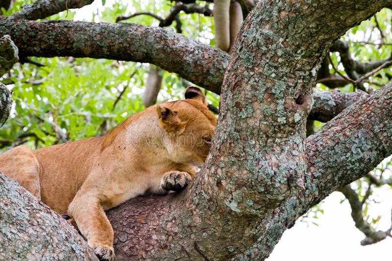 East African lioness Panthera leo melanochaita in a tree. East African lioness Panthera leo melanochaita, species in the family Felidae and a member of the genus stock photo