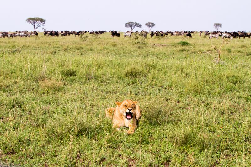 East African lionesses (Panthera leo). East African lionesses Panthera leo, genus Panthera, listed as vulnerable, preparing for hunting in Serengeti National stock photos