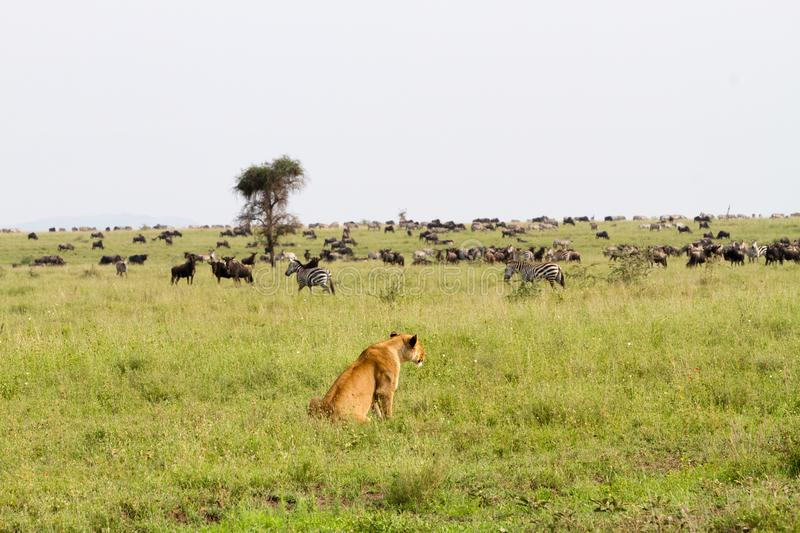 East African lionesses Panthera leo ready for hunting zebras and wilderbeests. East African lionesses Panthera leo, genus Panthera, listed as vulnerable royalty free stock images