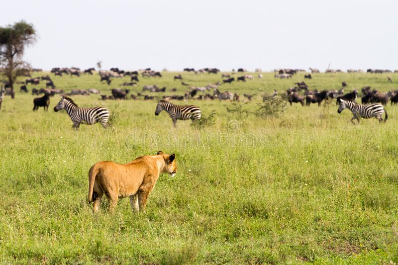 East African lionesses Panthera leo hunting in Serengeti. East African lionesses Panthera leo, genus Panthera, listed as vulnerable, with zebras Equus and blue stock image