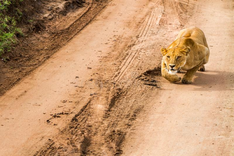 East African lionesses Panthera leo getting ready to hunt. Portrait of East African lionesses Panthera leo, genus Panthera, listed as vulnerable, preparing to stock image