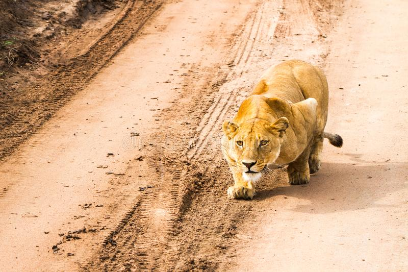 East African lionesses Panthera leo getting ready to hunt. Portrait of East African lionesses Panthera leo, genus Panthera, listed as vulnerable, preparing to royalty free stock image