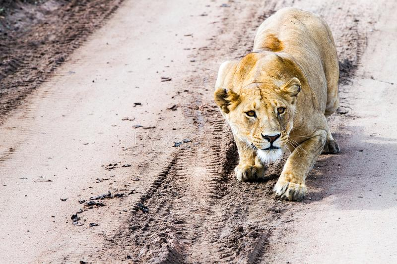 East African lionesses Panthera leo getting ready to hunt. Portrait of East African lionesses Panthera leo, genus Panthera, listed as vulnerable, preparing to stock photography