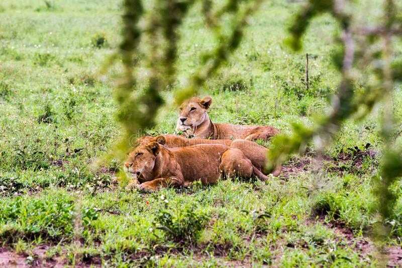 East African lionesses Panthera leo in the grass. East African lionesses Panthera leo, species in the family Felidae and a member of the genus Panthera, listed royalty free stock photos