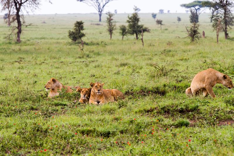 East African lionesses Panthera leo in the grass. East African lionesses Panthera leo, species in the family Felidae and a member of the genus Panthera, listed royalty free stock image